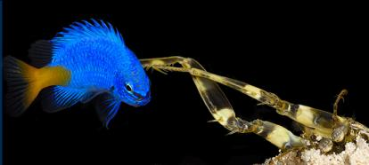 A small spearing stomatopod catches a yellow-tailed damsel fish that wandered too close to the mantis shrimp's burrow