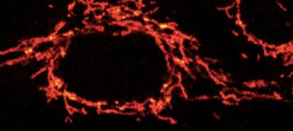 Mitochondrial Movement